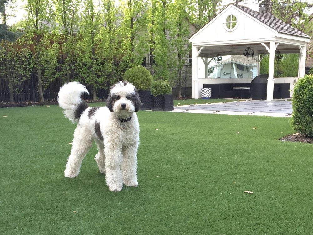 dog-loves-care-free-turf