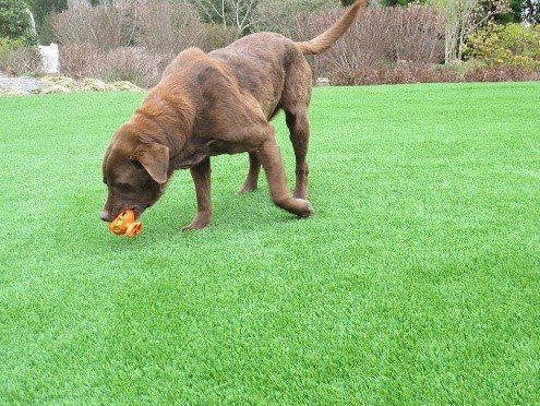 brown-lab-on-grass
